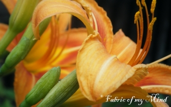 Orange Daylillies 1