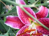 Hot Pink Lily Photograph