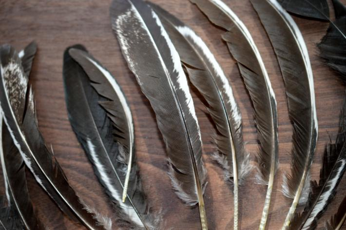 Natural Chicken Feathers Humanely Gathered from Silver Laced Wyandotte