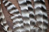 Natural Chicken Feathers Humanely Gathered from Barred Plymouth Rock