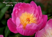 Pretty Peony in pink photography print