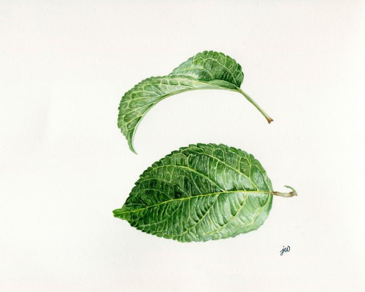 Apple Leaf Watercolor Tutorial Painting