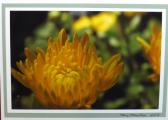 Miniature Chrysanthemum