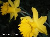 Yellow Spring Daffodils
