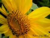 Sunny Yellow Summer Sunflower