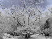 Snow Laced Trees 8 x 10 Photography Print