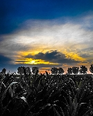 Cornfield at Sunrise 8 x 10 inch print