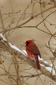 Red Male Cardinal in Snowy Background