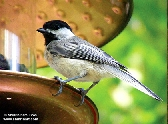 Black Cap Chickadee 4x6 matted print