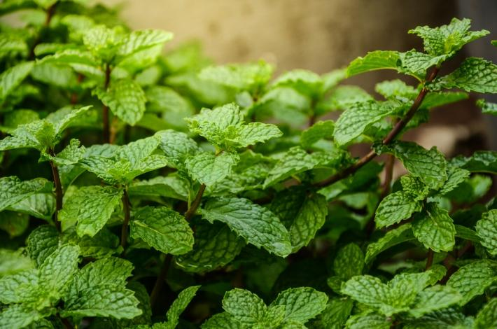 1 Ounce of Dried Spearmint Leaves