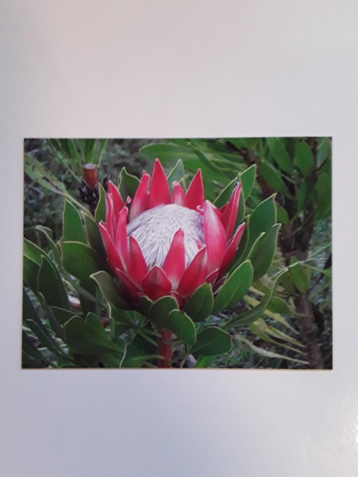 Protea Flower Magnet or Coaster