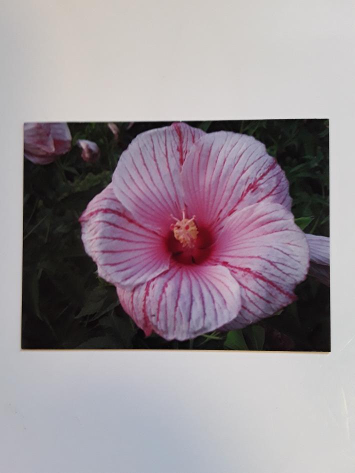 Hibiscus Magnet or Coaster